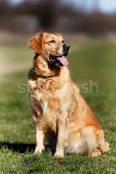 Purebred dog Stock photo © bigandt