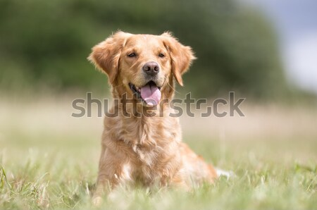 Purebred dog running towards camera Stock photo © bigandt