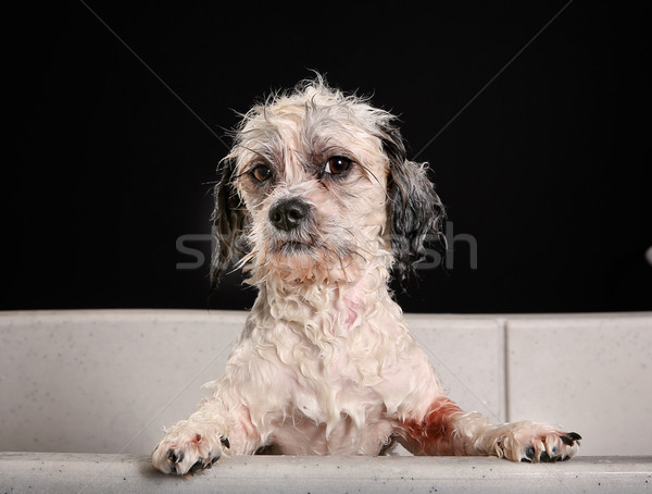 Purebred Havanese dog Stock photo © bigandt