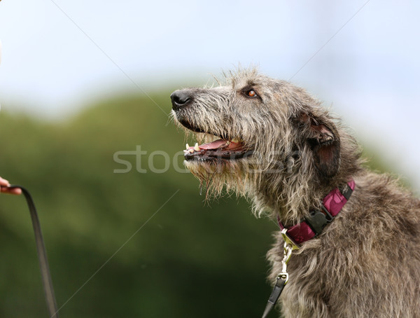 Irish Wolfhound dog Stock photo © bigandt