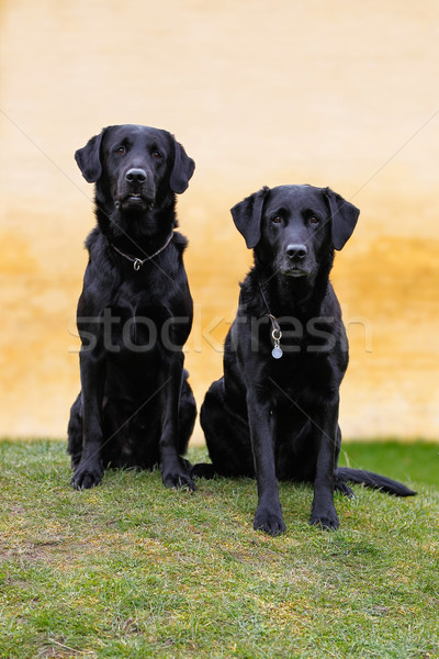 Fekete kettő fajtiszta áll felfelé néz Stock fotó © bigandt