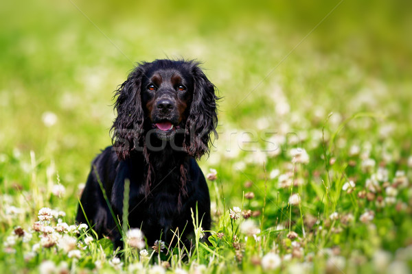 Black english springer spaniel playing in clover field Stock photo © bigandt