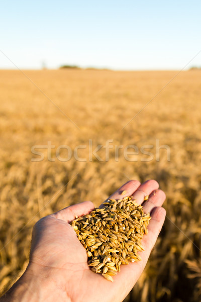 Grain harvest Stock photo © bigandt