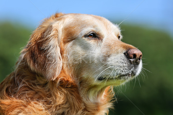 Golden retriever cane esterna sereno estate Foto d'archivio © bigandt