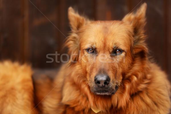 Kutya öreg kívül néz kamera szemek Stock fotó © bigandt