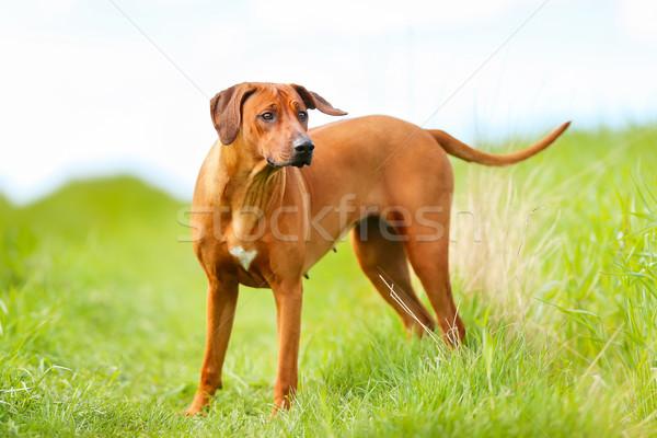 Kutya tavasz természet nyár díszállat napos Stock fotó © bigandt