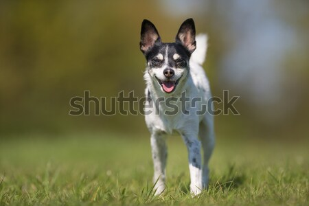 Running chihuahua Stock photo © bigandt