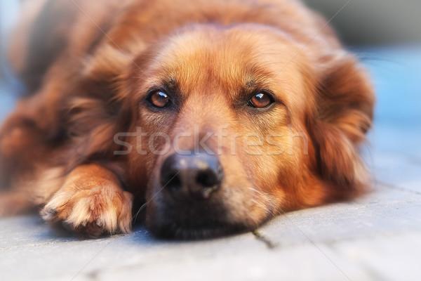 Hond naar rechtstreeks camera Stockfoto © bigandt