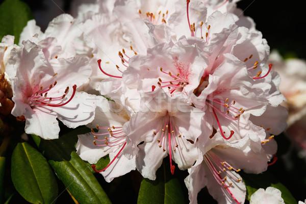 Rhododendron flower Stock photo © bigandt