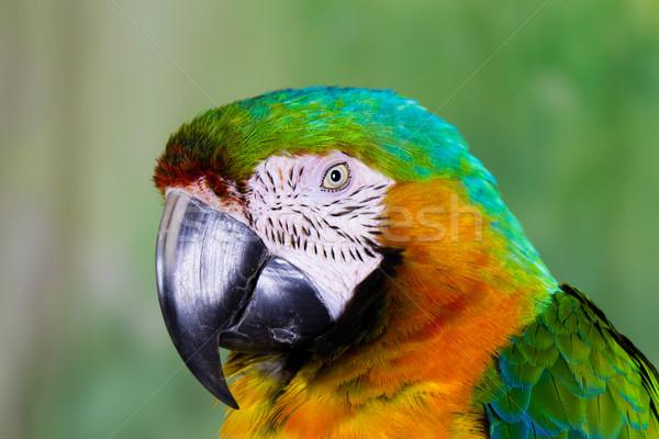 Parrot птица цвета тропические животного ПЭТ Сток-фото © bigjohn36