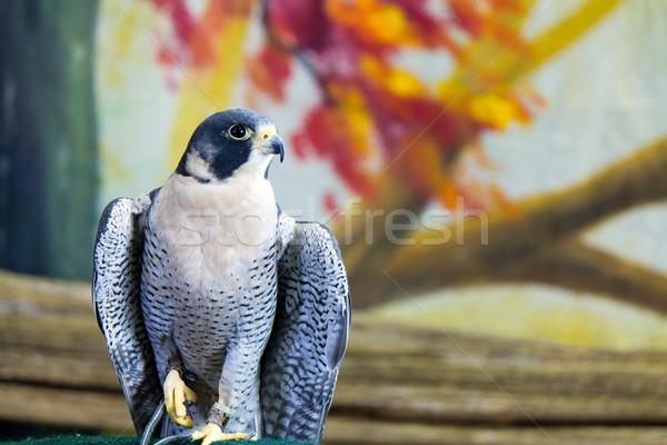 сокол птица добыча природы портрет профиль Сток-фото © bigjohn36