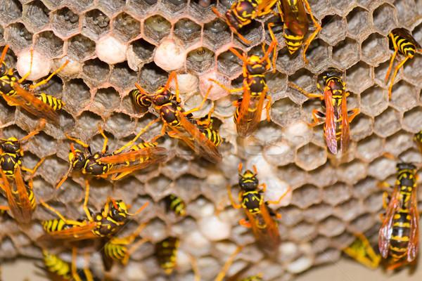 Vespa ninho próximo natureza trabalhando inseto Foto stock © bigjohn36