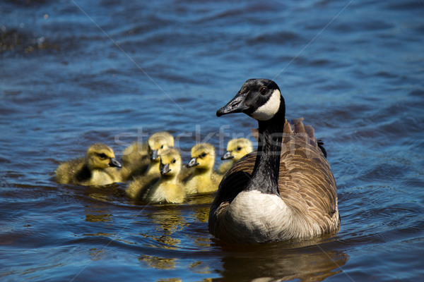 Canadian goose swimming with their young. Stock photo © bigjohn36