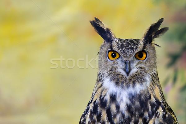 Spotted Eagle-Owl Stock photo © bigjohn36