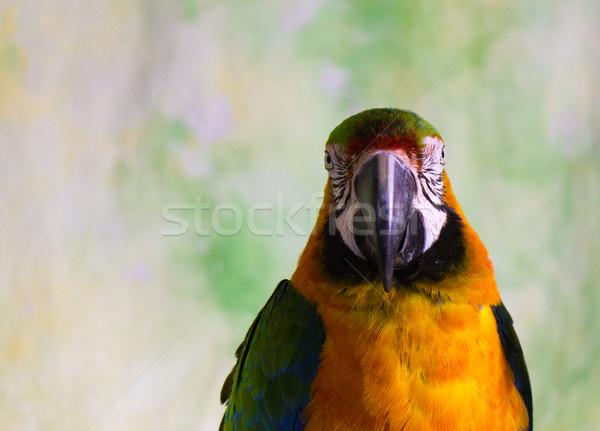 Macaw Parrot Stock photo © bigjohn36