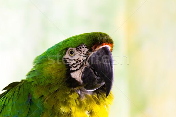 Military Macaw Parrot Stock photo © bigjohn36