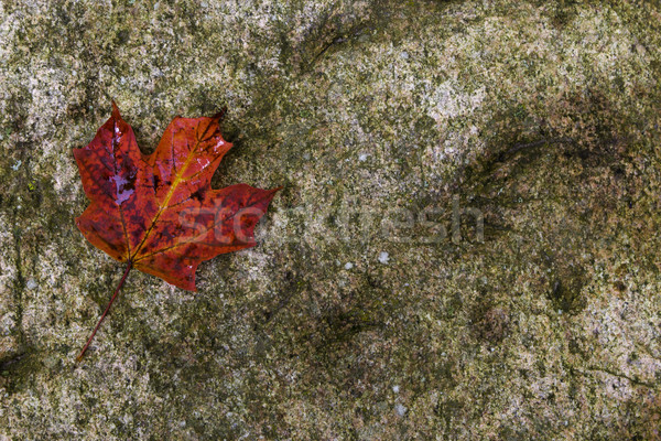 赤 カエデの葉 岩 自然 葉 秋 ストックフォト © bigjohn36