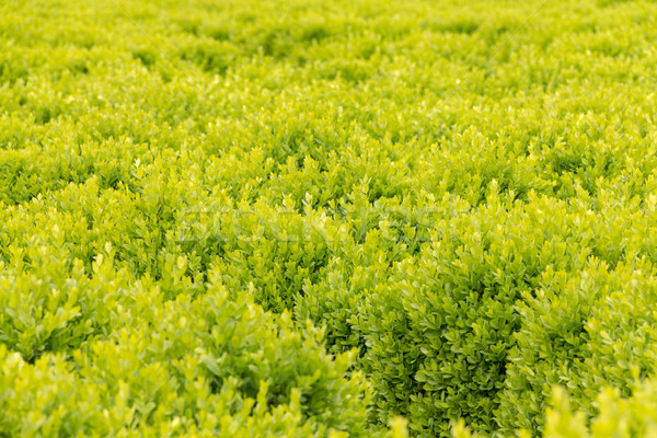 Zielone dywan gęsty pozostawia selektywne focus środkowy Zdjęcia stock © BigKnell