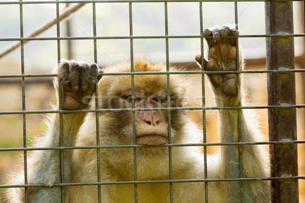 Closeup of caged Monkey with sad looking Stock photo © BigKnell