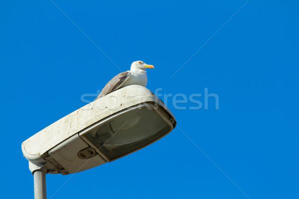 Gull on lampposts Stock photo © BigKnell