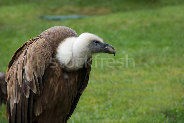 Griffon Vulture - Gyps Fulvus Stock photo © BigKnell
