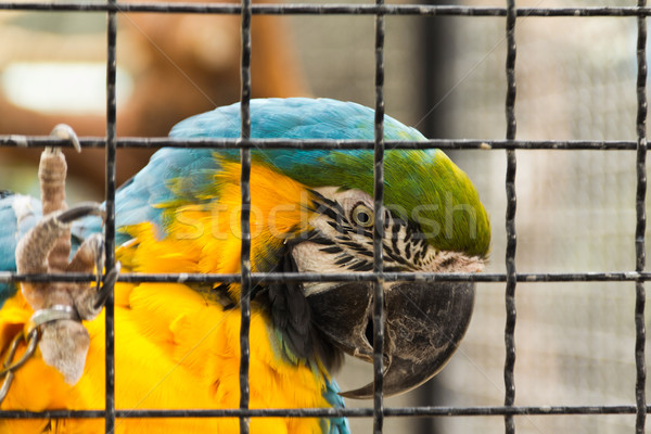 Caged parrot Stock photo © BigKnell