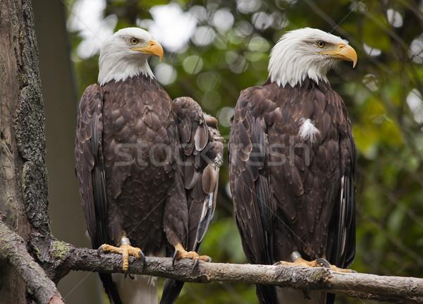 White Head Bald Eagles in Tree Washington Stock photo © billperry