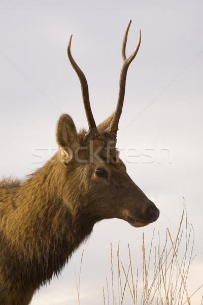 Genç erkek portre bizon Montana Stok fotoğraf © billperry