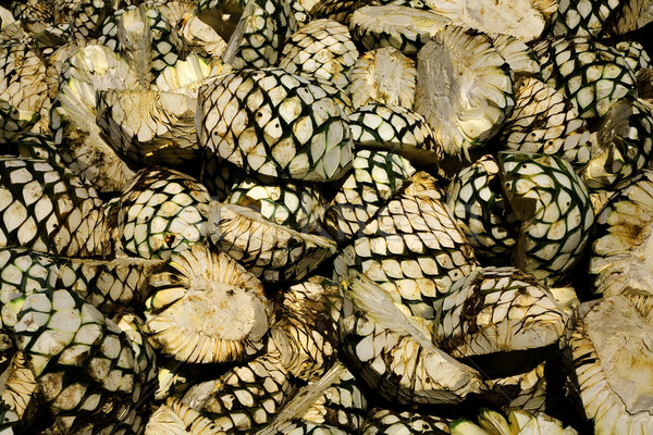 Agave Fruit Piled Up and Waiting for Oven Stock photo © billperry