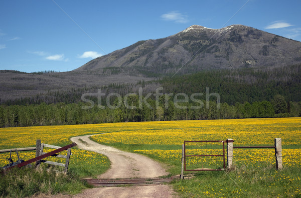 Yellow Flower Farm Road Fence Countryside Glacier National Park  Stock photo © billperry