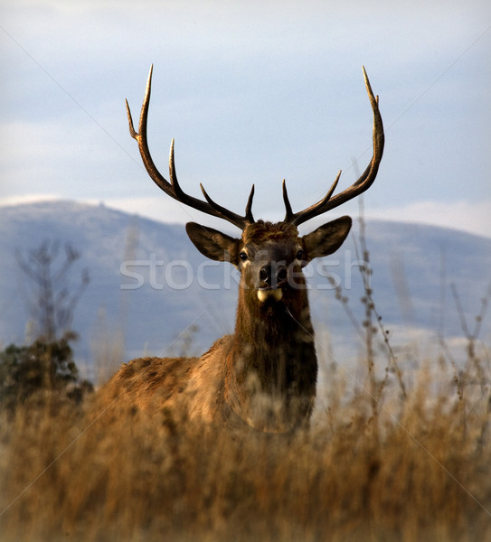 Big Elk With Large Rack of Horns National Bison Range Charlo Mon Stock photo © billperry