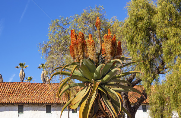 Giant Tree Aloe Barberae White Adobe Mission Santa Barbara Calif Stock photo © billperry