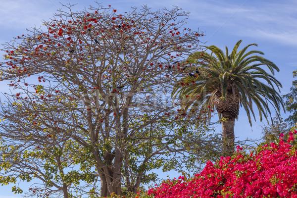 Red Coral Tree Palms Tree Bougainvillea Santa Barbara California Stock photo © billperry