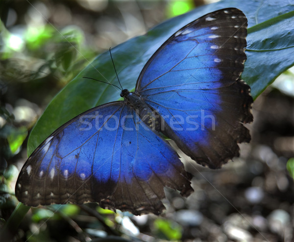 Blue Morpho Butterfly Stock photo © billperry