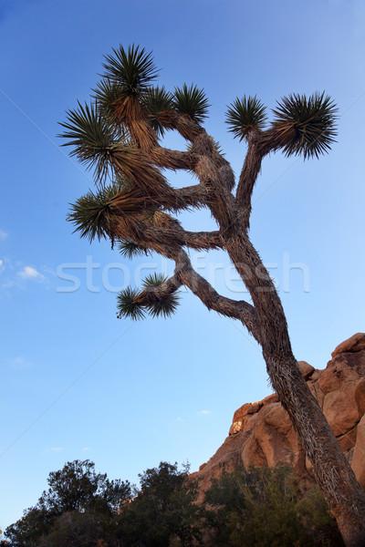 Yucca  Brevifolia Evening Mojave Desert Joshua Tree National Par Stock photo © billperry