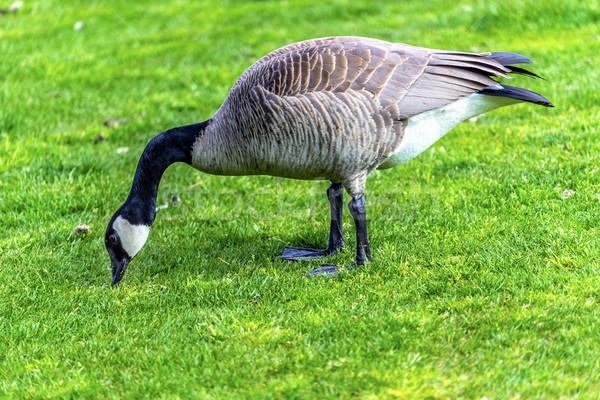 Gans meer vogel reizen veer zwarte Stockfoto © billperry