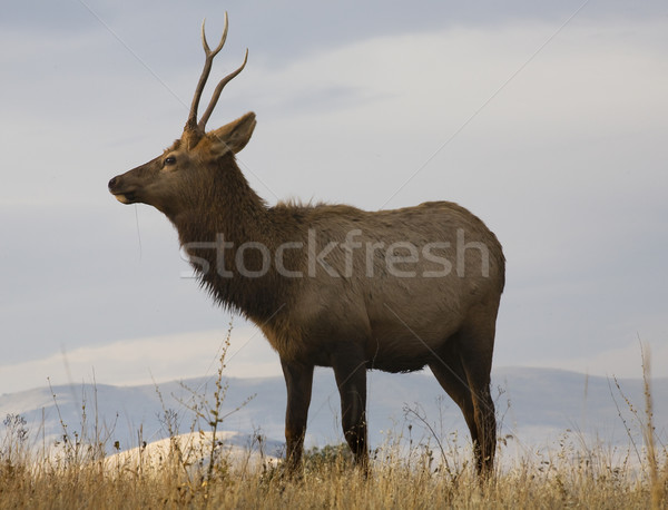 Young Male Elk With Grass National Bison Range Charlo Montana Stock photo © billperry