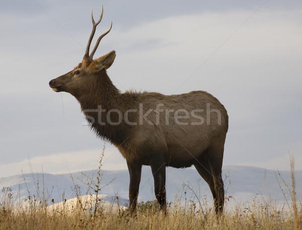 Foto stock: Jovem · masculino · grama · bisão · alcance · Montana