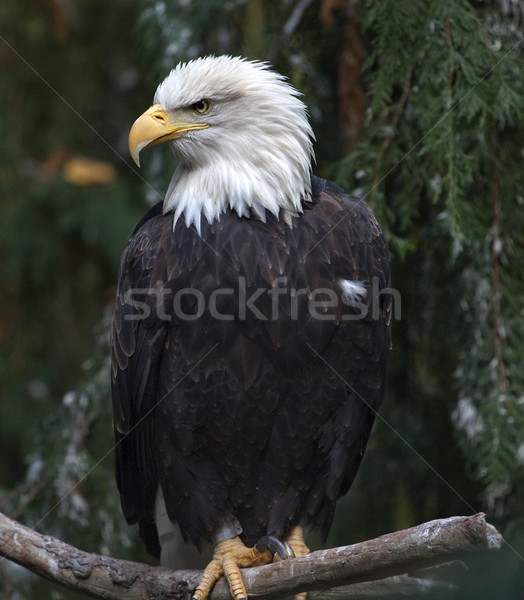 White Head Bald Eagle in Tree Washington Stock photo © billperry