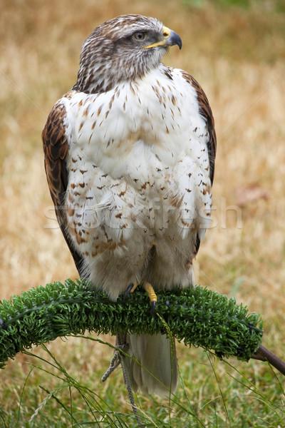 ястреб коричневый природы голову белый Сток-фото © billperry