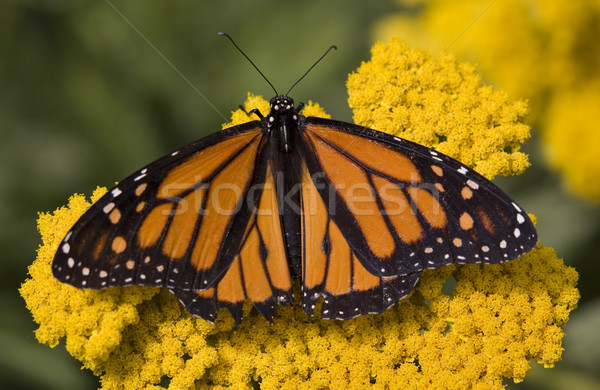 Monarch Butterfly on Yellow Flower Stock photo © billperry