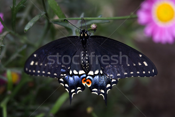 Spicebush Swallowtail  Stock photo © billperry