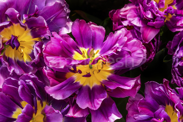 Purple Yellow Fancy Kaufmanniana Lily Tulips Keukenhoff  Lisse H Stock photo © billperry