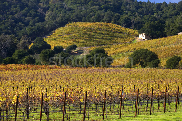 Yellow Vines Green Trees Hills Vineyards Fall White Farmhouse Na Stock photo © billperry