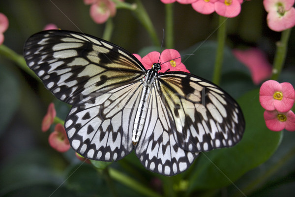Rice paper Paper or Paper Kite Butterfly on Pink Flowers Stock photo © billperry
