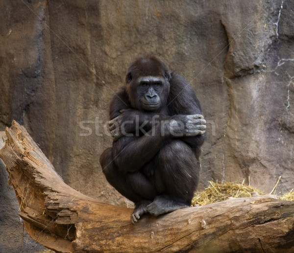 Gorilla Ape Looking at crowd Stock photo © billperry