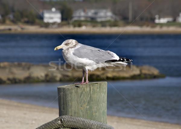 Seagull Close Up Marion Harbor Massachusetts Winter time Stock photo © billperry