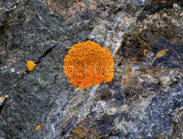 Bright Orange Lichen on Rocks Seward Highway Anchorage Alaska Stock photo © billperry