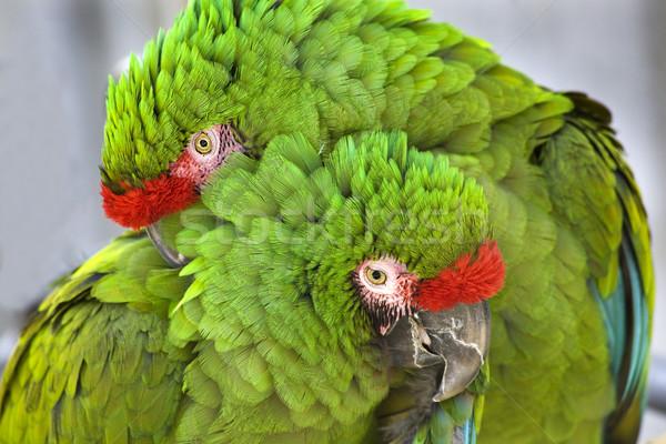 Cuddling Green Military Macaws Stock photo © billperry