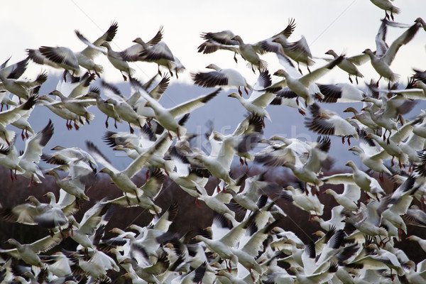 Lift Off Hunderds of Snow Geese Taking Off Flying Stock photo © billperry